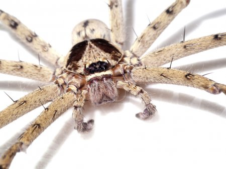 Hairy house spider (Tegenaria domesticus) on white background