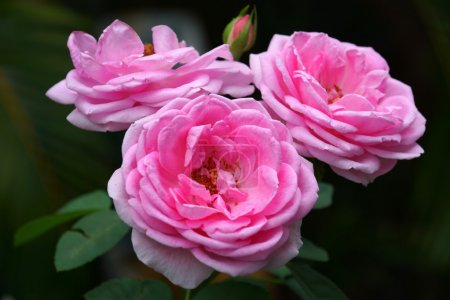 Pink roses for extraction of essential oils. (Rosa damascena)