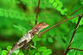 Línání chameleon na větvi