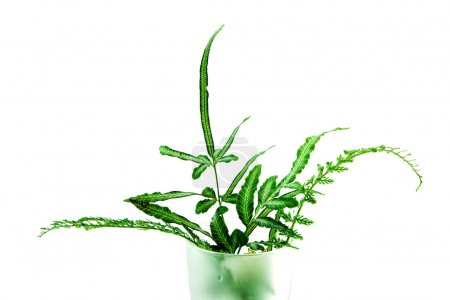 Boston Fern. Scientific name: Nephrolepis exaltata(L)Schott.