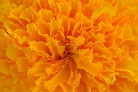 Foto de Macro pictuer de maravilla en el jardín. - Imagen libre de derechos