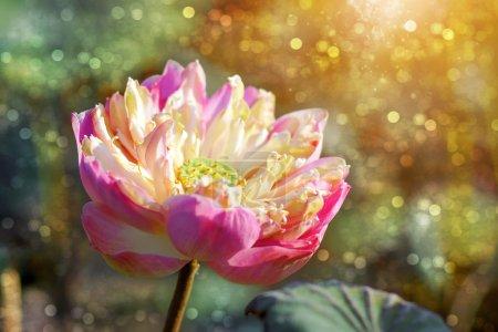 Photo pour Lotus en saison sèche - image libre de droit
