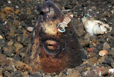 Photo pour Magnifique partenaire Crevettes (Periclimenes Magnificus) sur la tête d'une anguille serpent à nageoires noires (Ophichtus Melanochir), détroit de Lembeh, Indonésie - image libre de droit