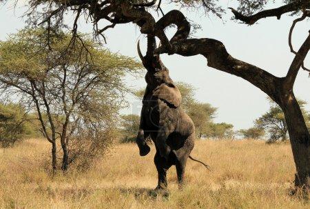Photo pour Éléphant d'Afrique (Loxodonta Africana) À la recherche de nourriture dans un arbre, Serengeti, Tanzanie - image libre de droit