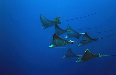Seven Spotted Eagle Rays (Aetobatus Narinari) in t...