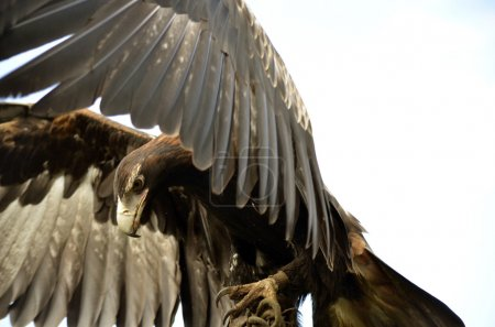 The wedge tailed eagle has spread his wings...