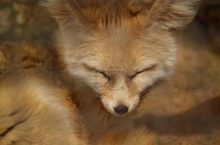 Photo pour Le renard est endormi au soleil - image libre de droit