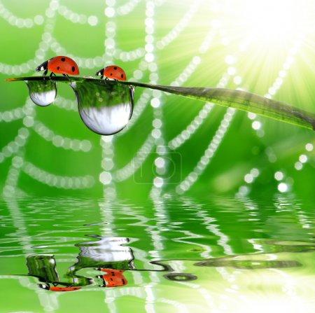 Dew and ladybird