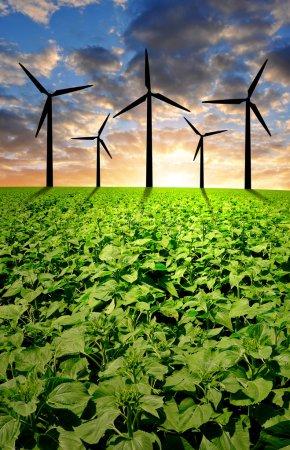 Foto de Campo de girasol con turbinas eólicas en la puesta del sol - Imagen libre de derechos