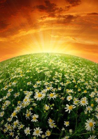 Photo pour Champ de marguerites dans le soleil couchant - image libre de droit