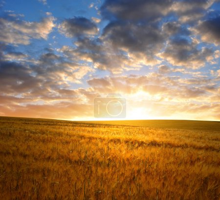 Photo for Sunset over wheat fields - Royalty Free Image