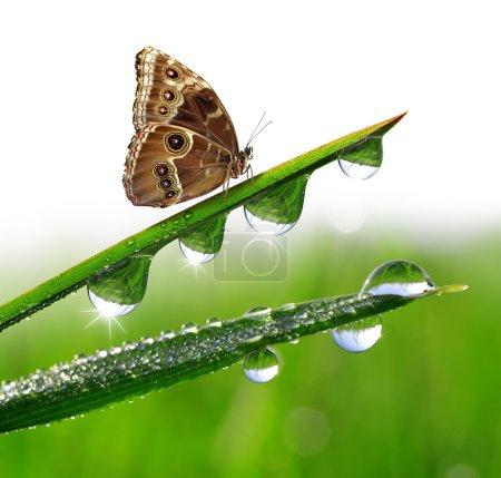 Photo pour Rosée et papillon Morpho fermer - image libre de droit