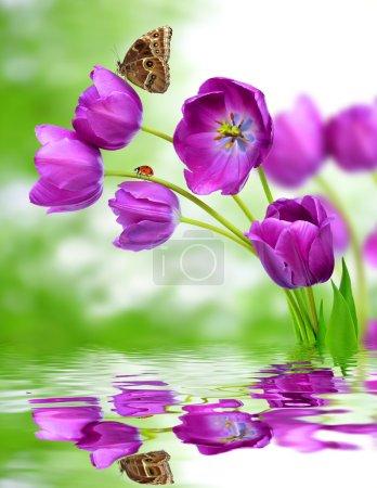 Foto de Tulipanes morados frescos con morfo mariposa - Imagen libre de derechos