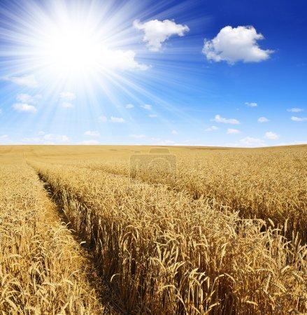 Photo pour Blé doré avec ciel ensoleillé - image libre de droit