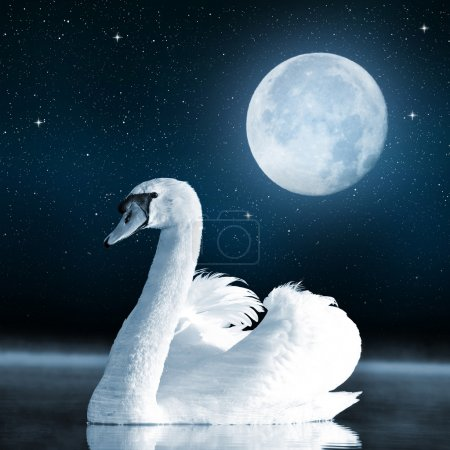 Photo for Swan on the lake in the night sky. - Royalty Free Image
