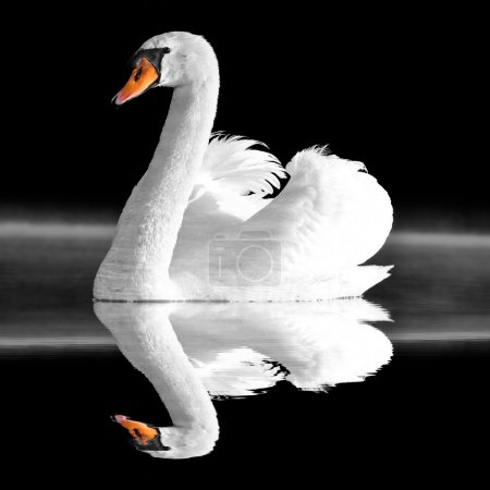 Foto de En el lago del cisne - Imagen libre de derechos