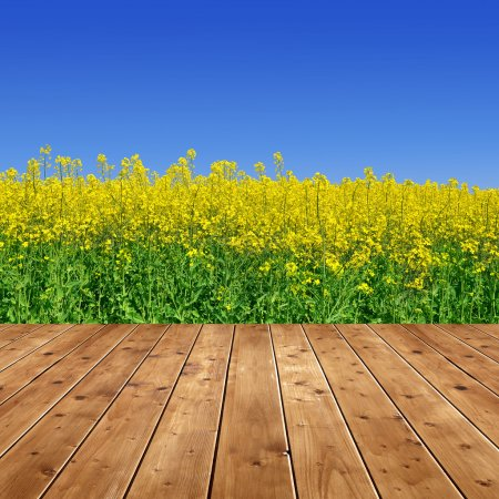 Rapeseed field with wooden planks...