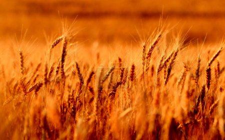 Foto de Campos de trigo al final del verano completamente madura - Imagen libre de derechos