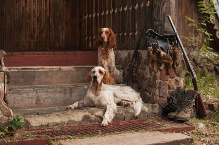 Spaniel and setter with trophies
