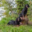 Two gun dog near to trophies, horizontal, outdoors...