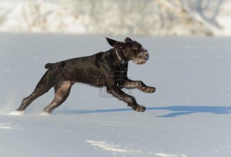 Gun dog runs on snow, horizontal