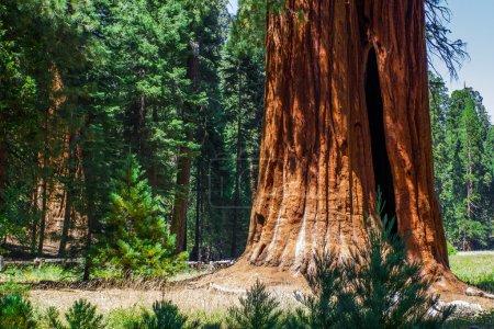 Photo pour Des grands séquoias sont debout dans le parc national de sequoia - image libre de droit