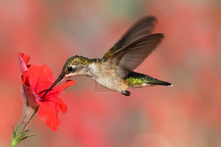 Photo for Juvenile Ruby-throated Hummingbird (archilochus colubris) in flight at a flower with a colorful background - Royalty Free Image