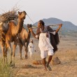 Постер, плакат: Arriving at the Pushkar Camel Fair
