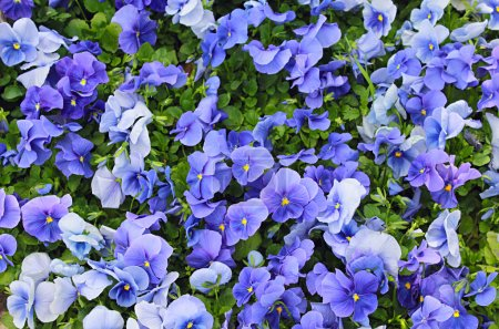 Photo for A lot of blue and purple violets in the garden - Royalty Free Image