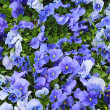 A lot of blue and purple violets in the garden...