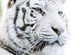White tiger closeup