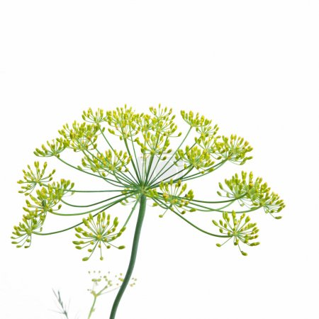 Photo for Flower head on a Dill plant - Anethum Graveolens - Royalty Free Image
