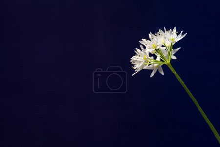 Photo for Isolated on black single flower from wild garlic plant with edible leaves that grows in forests alongside rivers in Western Europe. - Royalty Free Image