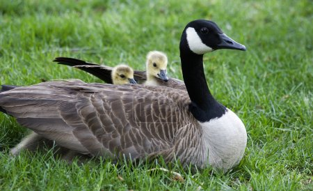 Baby Geese