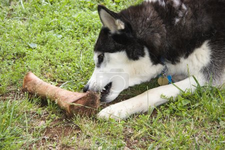 Dog Eating a Bone
