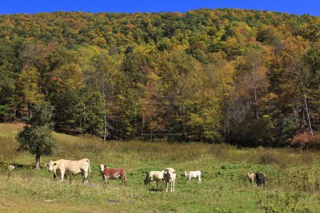 Cows in a mountain field in the fall...