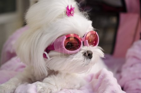 Cool fashionable Maltese doggy