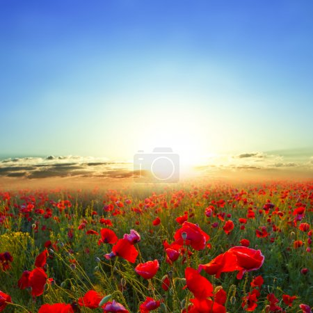Morning red poppy field