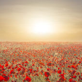 Early morning red poppy field