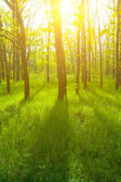 Beautiful green forest at the sunset