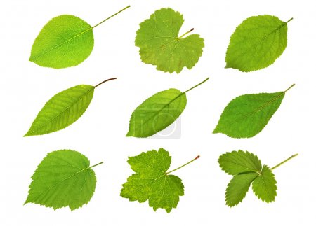 Photo for Collection fruit leaves isolated on white - Royalty Free Image