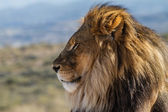 Profile view of a Lion King of the wild