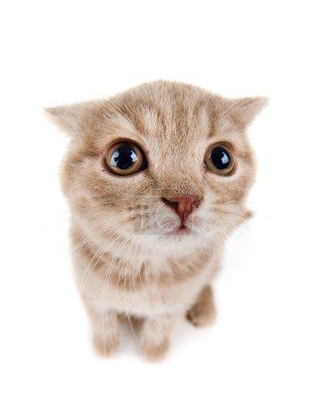 The beautiful brown little  kitten, sit on white  ...