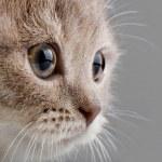 The beautiful brown little  kitten, on grey  backg...