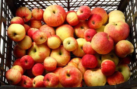 Photo for Fresh harvest of red apples - Royalty Free Image
