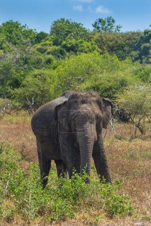 Wild elephant in Yala National Park in Sri Lanka.