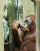 Egy orángután lenyűgöz egy pár fiúk