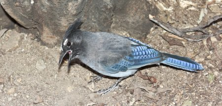 A Steller's Jay Gathering Food from the Ground