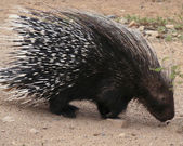 An African Crested Porcupine, Hystrix cristata