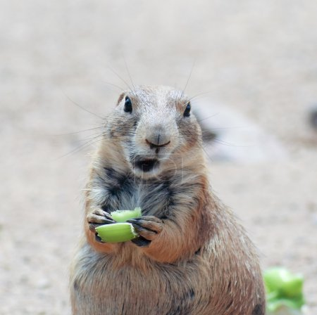 A Prairie Dog Eating a Piece of Celery
